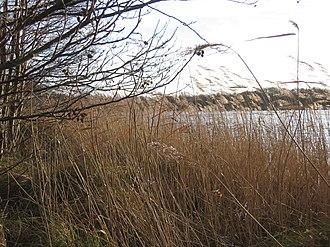 Alderfen Broad - Image: Reedswamp fringing Alderfen Broad, Norfolk geograph.org.uk 310681