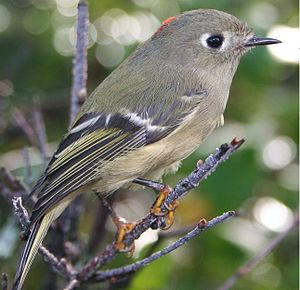 Description: Ruby-crowned Kinglet (Regulus cal...