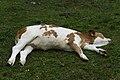 Relaxende Kühe am Wegesrand Seebachtal 20190820 012.jpg