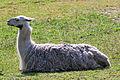 Relaxing Llama (3917484834).jpg