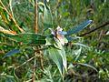 Rhabdophaga rosaria 01.JPG