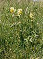 Rhinanthus alectorolophus 002.JPG