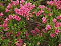 Rhododendron 'Blaauw's Pink' HRM.jpg