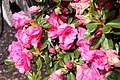 Rhododendron Kimberlys Double Pink 2zz.jpg