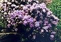 Rhododendron impeditum 1.jpg