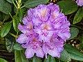 Rhododendron ponticum actm 03.jpg