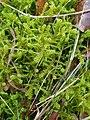 Rhytidiadelphus squarrosus 108880504.jpg