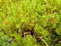 Rhytidiadelphus squarrosus p8220006.jpg