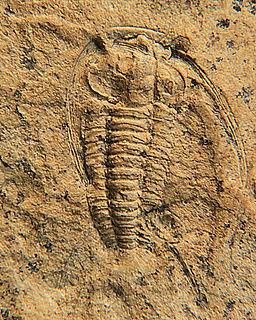Richterops genus of trilobites (fossil)