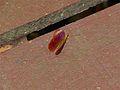 Riodinid Butterfly (Abisara sp.) (8112822787).jpg