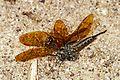 Robberfly (Efferia aestuans?) with Eastern Amberwing (Perithemis tenera), Leesylvania State Park, Woodbridge, Virginia - 8316778221.jpg