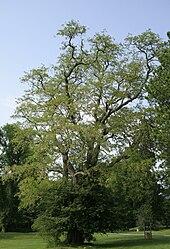 http://upload.wikimedia.org/wikipedia/commons/thumb/e/ed/Robinia_pseudoacacia_-_Ardenne.JPG/170px-Robinia_pseudoacacia_-_Ardenne.JPG