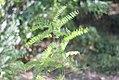 Robinia pseudoacacia - Bagrem (10).jpg