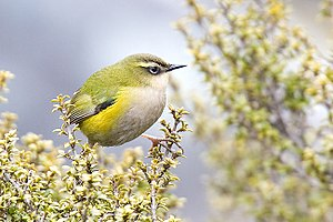 New Zealand rock wren - Xenicis gilviventris, showing distinctive green, yellow, and grey colouring.