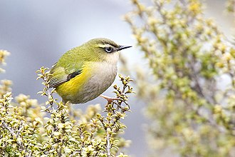 New Zealand rock wren (Xenicus gilviventris), one of the two surviving species of suborder Acanthisitti Rock wren.jpg