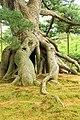 Roots - Kenroku-en, 兼六園, Kanazawa, Ishikawa, Japan, (42181750935).jpg