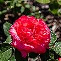 Rosa 'Donauprinzessin', Bad Wörishofen, Alemania, 2019-06-20, DD 17.jpg