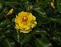 Rosa 'Rugelda'. Locatie, Tuinen Mien Ruys 03.jpg