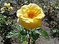 Rosa Arthur Bell 2018-07-16 6754.jpg