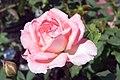 Rosa Liv Tyler 1zz.jpg