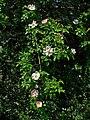 Rosa canina 002.JPG
