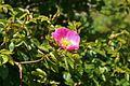 Rosa rubiginosa Sweet-briar.jpg