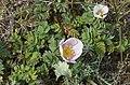 Rosa spinosissima inflorescence (27).jpg