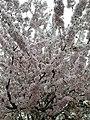 Rosales - Prunus padus - 11.jpg