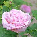 Rose, Anna Scharsach, バラ, アンナ シャルサック, (21103936472).jpg