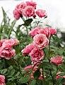 Rose, Anneke Doorenbos, バラ, アンネケ ドーレンボス, (13023859514).jpg