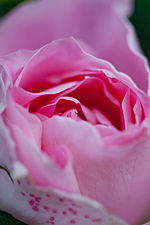 Rose, Carefree Wonder - Flickr - nekonomania (12).jpg