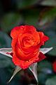 Rose, Tequila.jpg