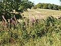 Rose Bay Willow Herb, Imber Range - geograph.org.uk - 539235.jpg