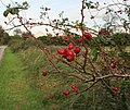 Rose hips by Sixscore Road - geograph.org.uk - 589040.jpg