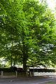 Rotbuche Speerweg Frohnau13465 21. Mai 2015 003.jpg