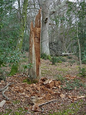 English: Rotting tree Gradually falling apart.