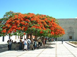 Royal Poincianas, Delonix regia