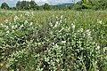 Rubus canescens kz05.jpg