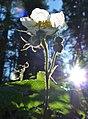 Rubus parviflorus 2.jpg