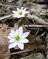 Rue Anemone (Thalictrum thalictroides) along West Overlook Trail - Flickr - Jay Sturner (1).jpg