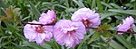 Ruhland, Grenzstr. 3, Mandelbäumchen, Zweig mit Blüten, Frühling, 05.jpg