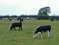 Ruminating kine, Skidby - geograph.org.uk - 577104.jpg
