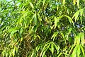 Rumpun pohon bambu (9).JPG