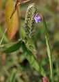 Rungia pectinata in Kawal WS, AP W IMG 1646.jpg