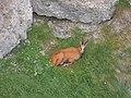 Rupicapra rupicapra (28214067250).jpg