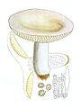 Russula alutacea Bres.jpg