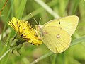 SULPHUR, CLOUDED (Colias philodice) (6-7-2018) rice lake n w r, aitkin co, mn -01 (43276736032).jpg