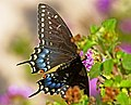 SWALLOWTAIL, BLACK (Papilio polyxenes) (2-25-08) fem, roma, tx (9423480092).jpg