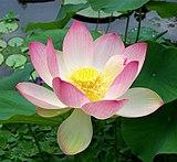 Sacred lotus Nelumbo nucifera