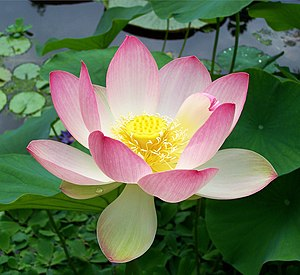 English: Flower of Nelumbo nucifera, bean of I...